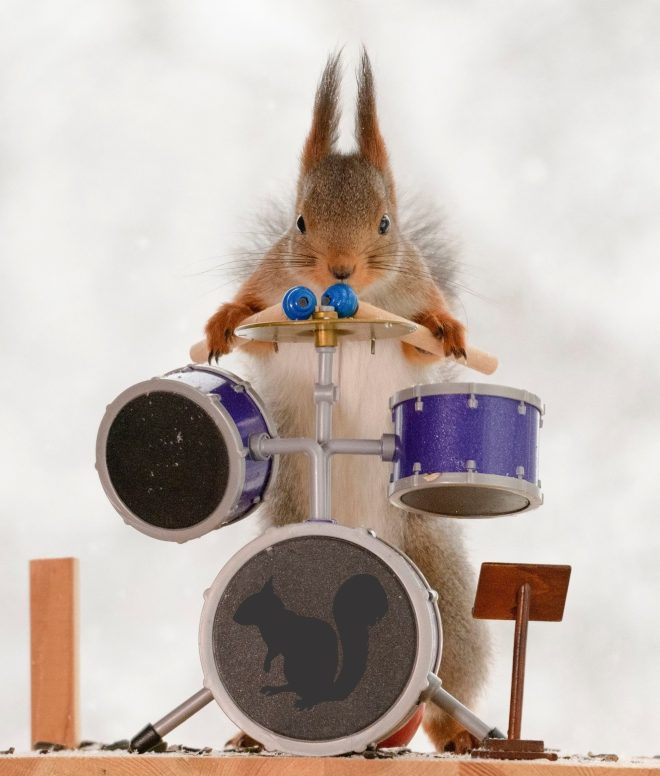 Rockin rodent is ready for his drum solo
