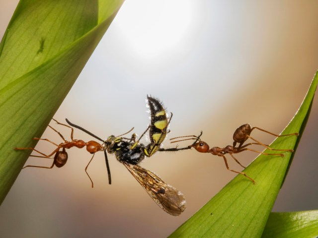 Wei Fu captured this stunning photograph of two ants fighting over an insect