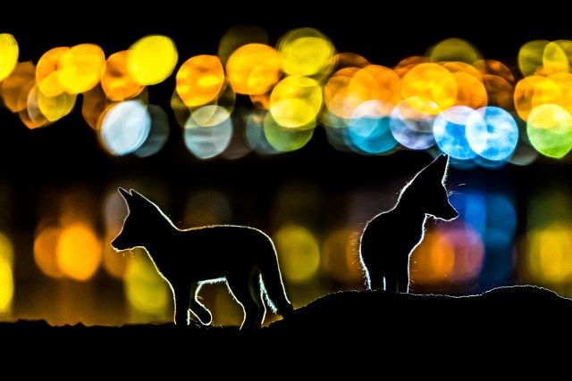 Mohammad Murad was highly commended for his snap of two foxes set against a backdrop of city lights