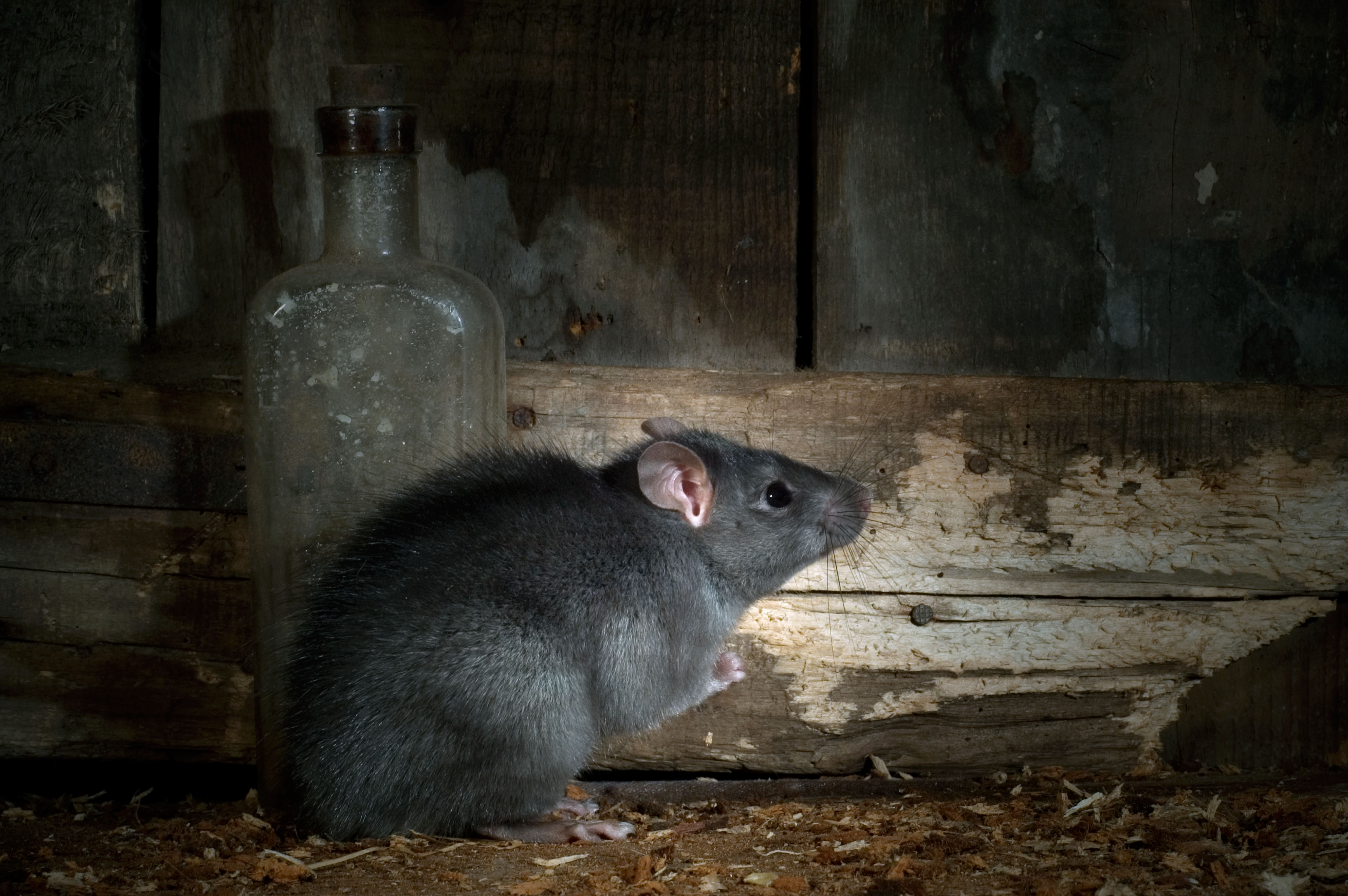 Hantavirus spread by RATS kills man on bus after he catches ...