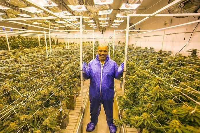 Although Mike Tyson has built a weed empire he doesn't grow it himself