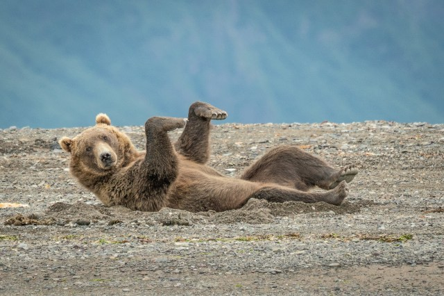Janet Miles found this Alaskan brown bear near Lake Clarke having a time out