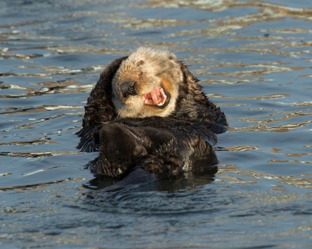 This Sea Otter in the US caught photographer David DesRochers' amusement