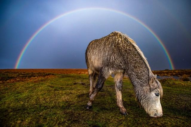 A semi-feral pony caught under the rainbow on Cefn Bryn Common, Swansea