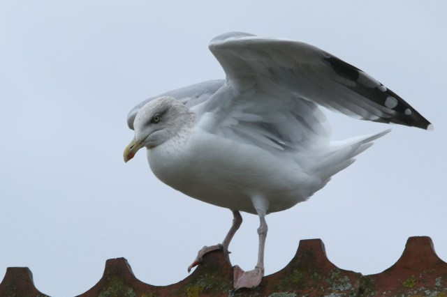 Seagulls have made the life of the homeowners hell