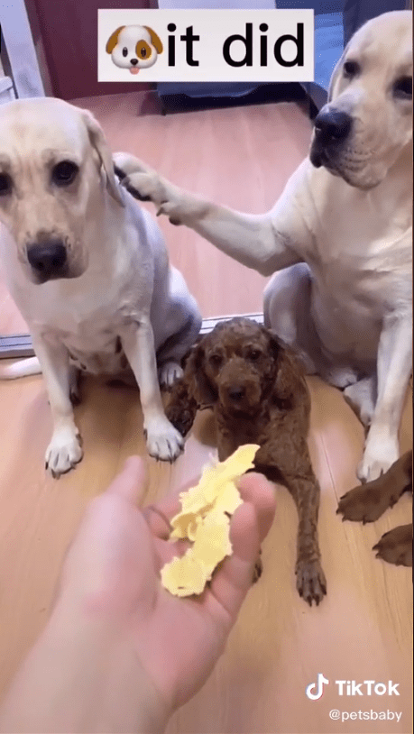 Adorable moment Labrador headbutts pal who snitched on him to owner about mess on the floor