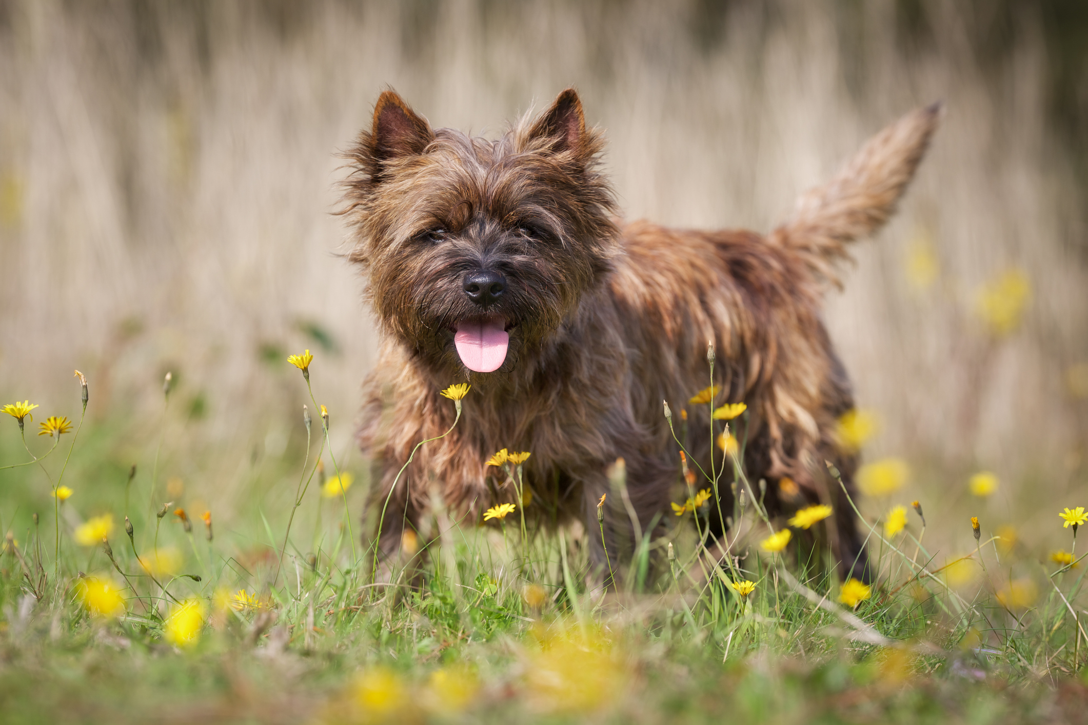 Enid's Cairn Terrier was attacked by a Staffie