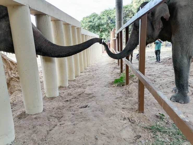 World's loneliest elephant' tenderly touches trunks with a female for first time in 8 years after Cher's rescue mission