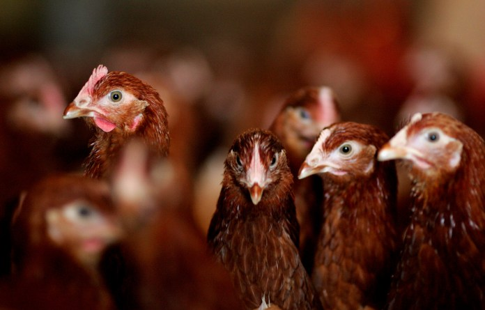 A bird flu outbreak has erupted in Cheshire (file photo)