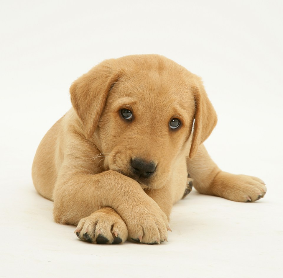 A couple worry they may leave their Labrador puppy at home for too long when returning to work full-time in June