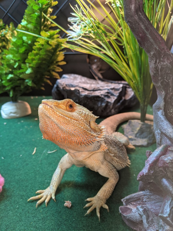 Bearded dragon Georgie was left to fend for himself in a flat for three months without food or water