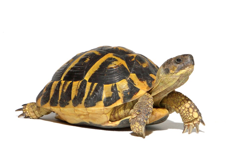 A new study  reveals that tortoises have topped the Eco Pets League, which judges the impact animals have on the environment