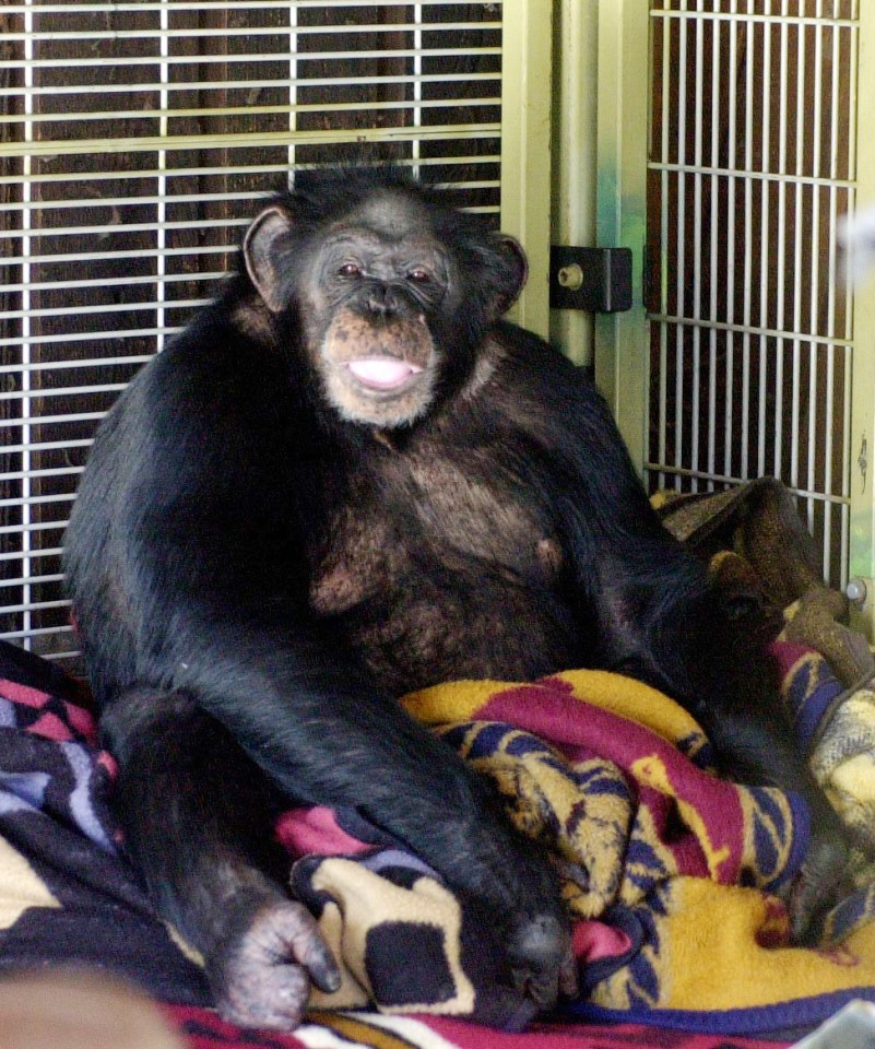 Charla Nash's friend had raised the chimp, Travis, for most of his life