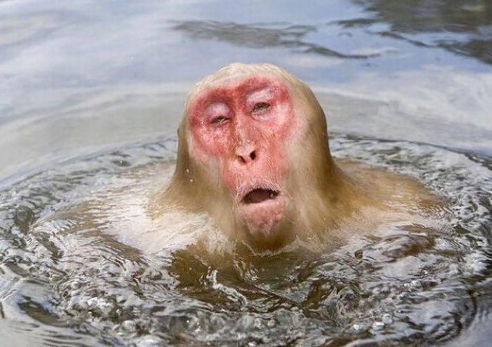 A monkey sighs with relief as he jumps into a cool pool, but his face is still red hot