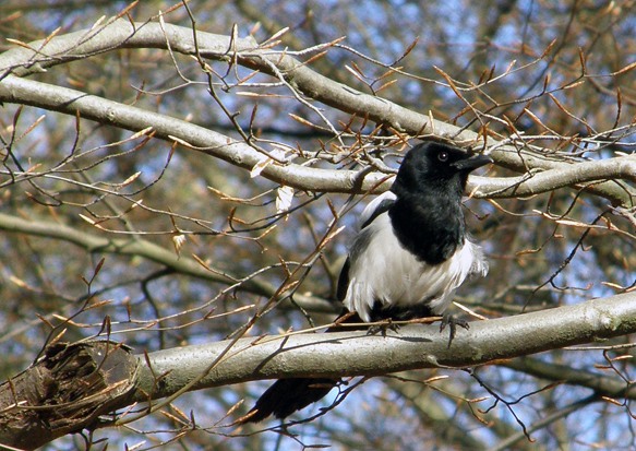 Bedraggled magpie