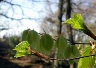 Beech leaves opening