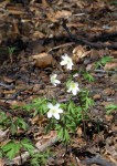 Wood anemonies in leaf litter