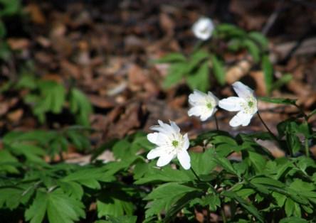 Wood anemonies