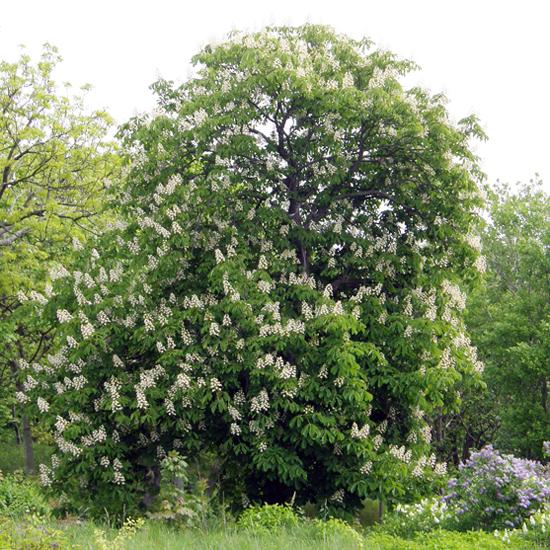 Flowering chestnut
