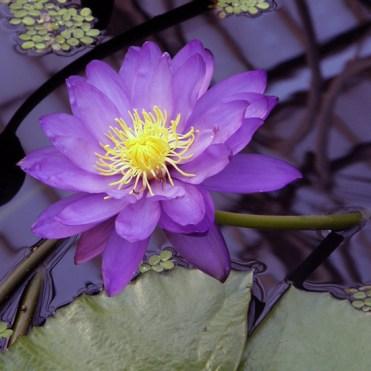 Kew's Electric Indigo flowering waterlilly