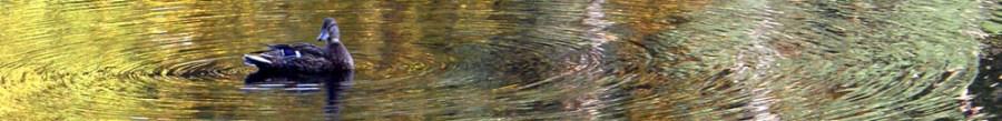 Duck in ripples, Oct 2010