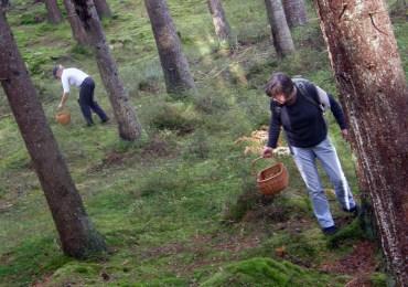 Mushroomers among the pines