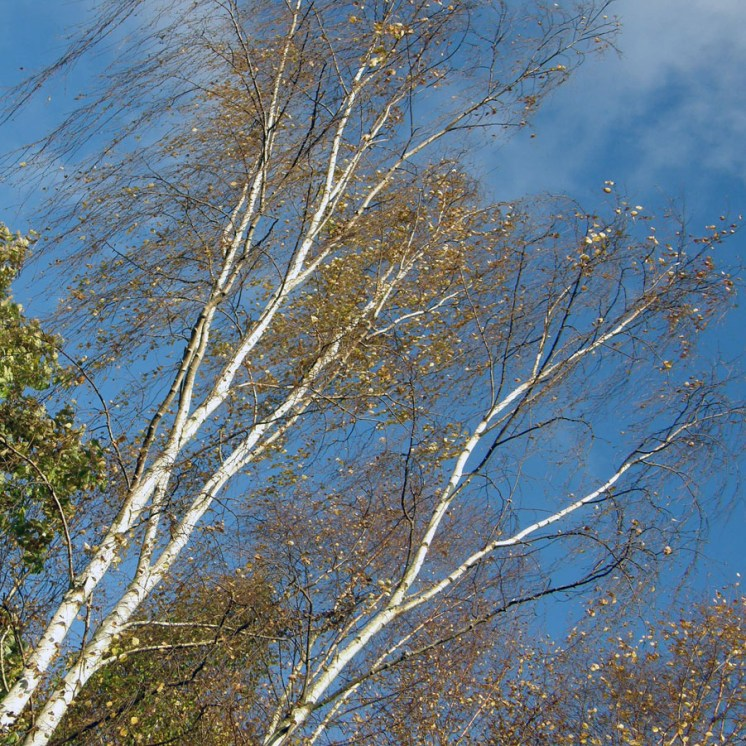 Autumn birches against a blue sky