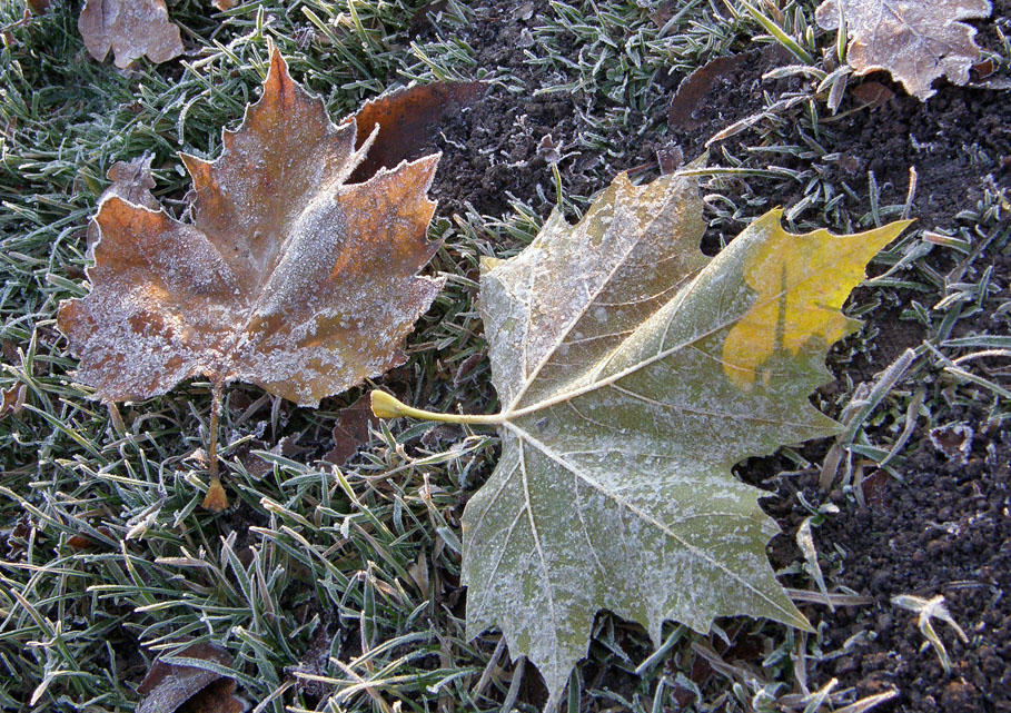 Frosted leaves on frosted grass