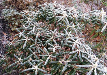 Frosted rhododendrons