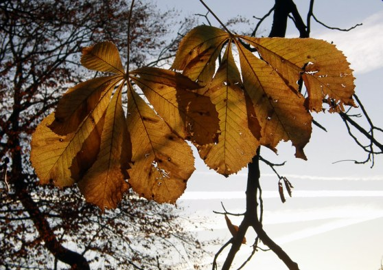 The rising sun on autumn chestnut leaves