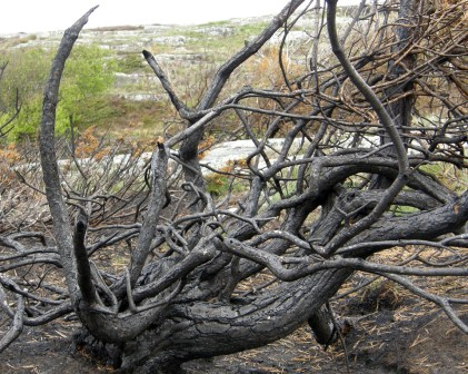 Burned branches 1