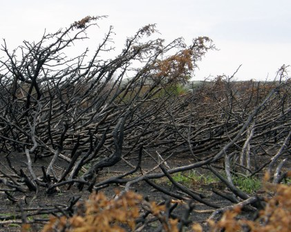 Burned branches 3