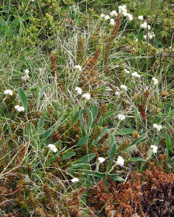 Scurvygrass (Cochlearia)
