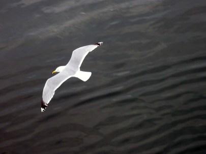 Gull at Fredrikshavn 1