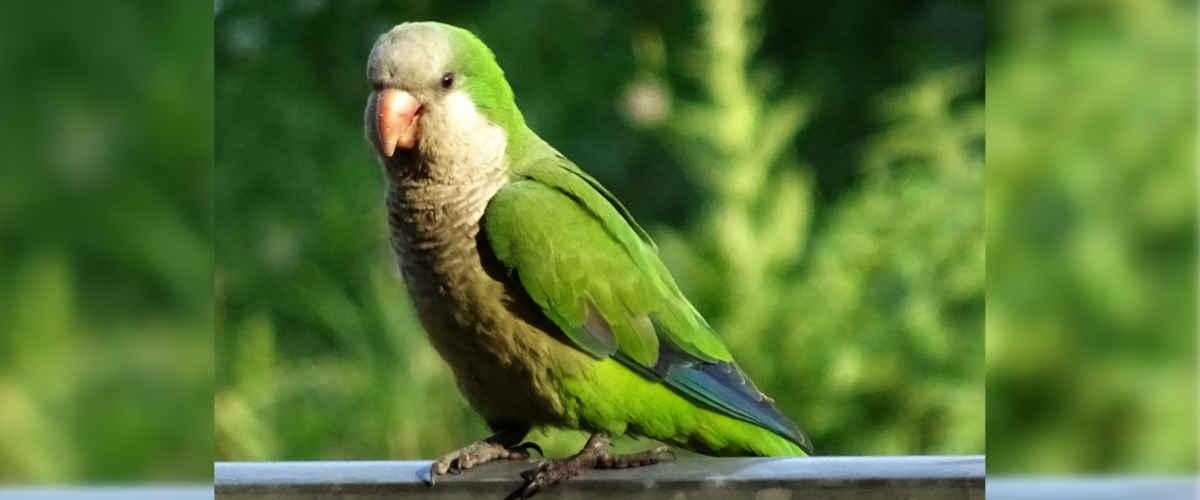 Parakeets header