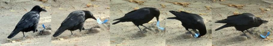 Crow playing
