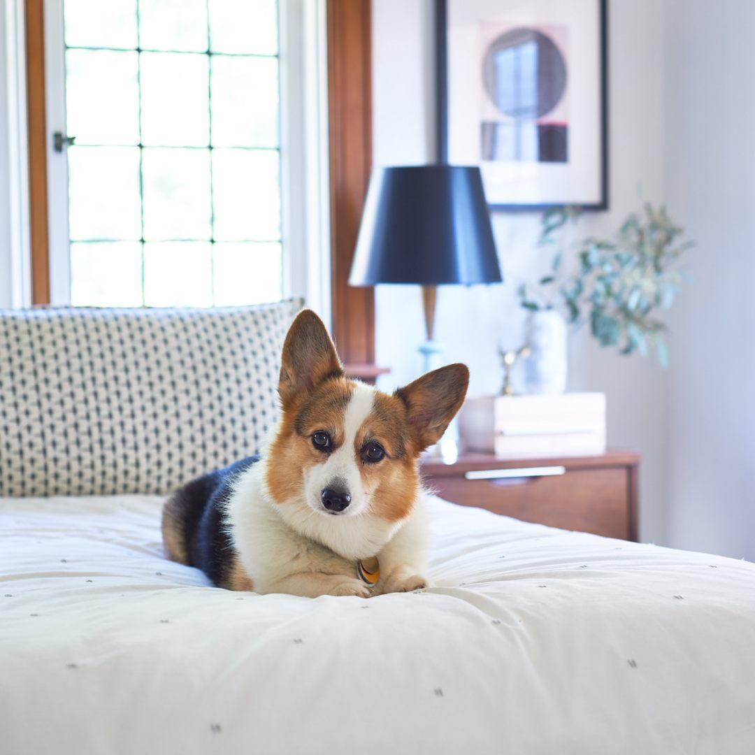 corgi on a bed
