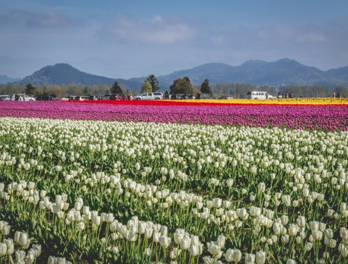 Skagit Valley Tulip Festival, Mount Vernon, Washington