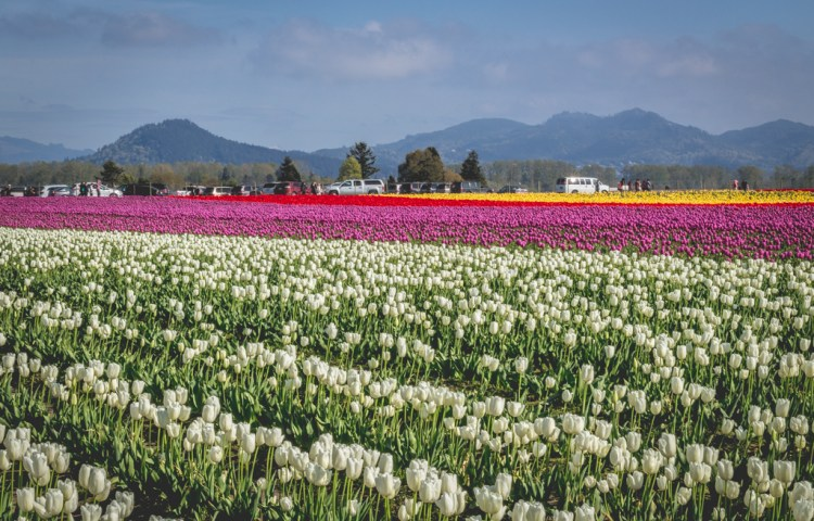 Skagit Valley Tulip Festival, Mount Vernon, Washington