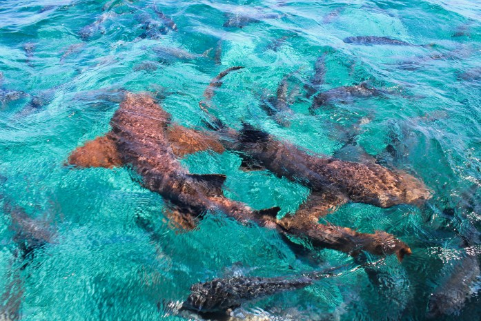 Nurse sharks in the Caribbean Sea