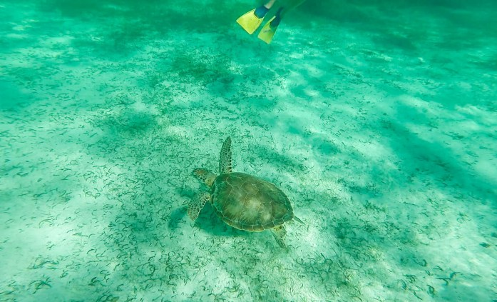 Sea turtle in Caribbean