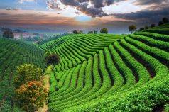 Matcha Tea Field