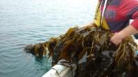 Islander Kelp31