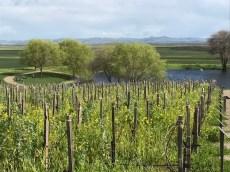 Ramsgate Winery vineyard