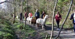 alpaca hike3