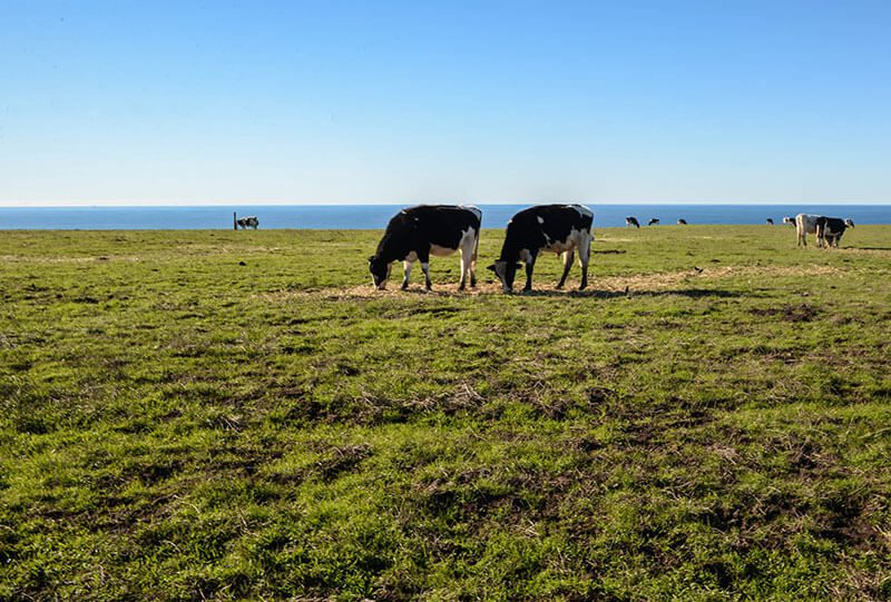 cows point-reyes-national-seashore