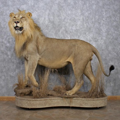 African Lion Mount For Sale 12505  The Taxidermy Store