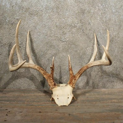Whitetail Deer Antler Plaque 10988  The Taxidermy Store
