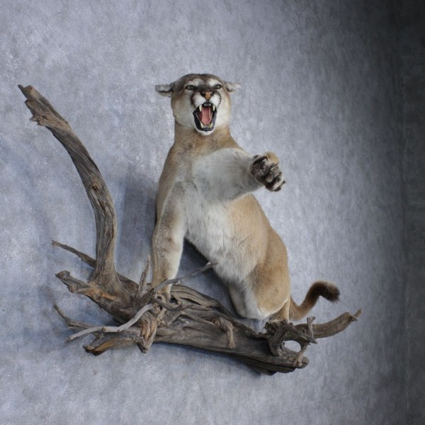 Related Keywords Suggestions for mountain lion taxidermy