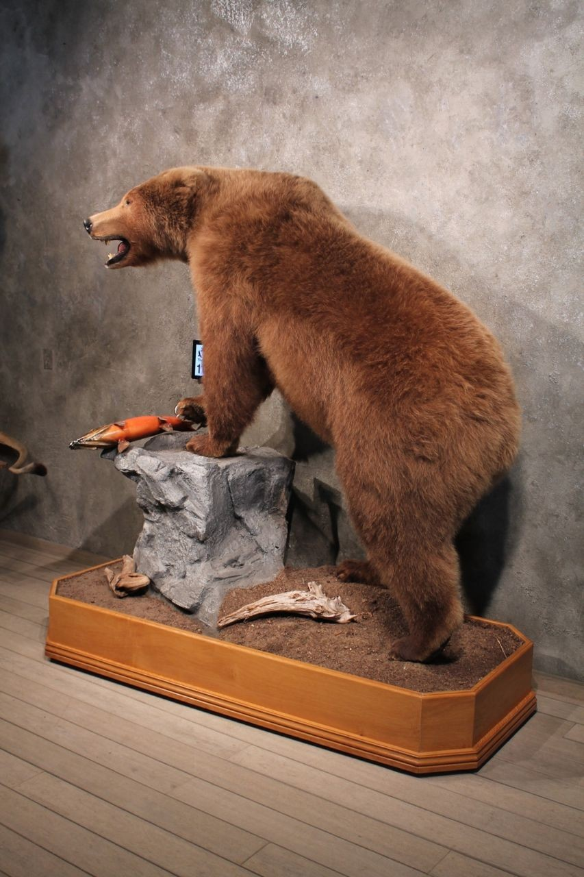 For Sale Brown Bear Sow Life Size Taxidermy Mount with Salmon